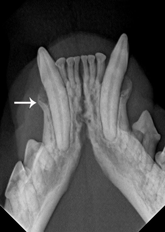 Radiography (x-ray)  Periodontal Disease in Cats