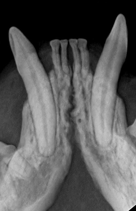 Radiography (x-ray) of Periodontal Disease in Cats
